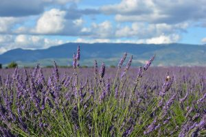 VIF lavendar